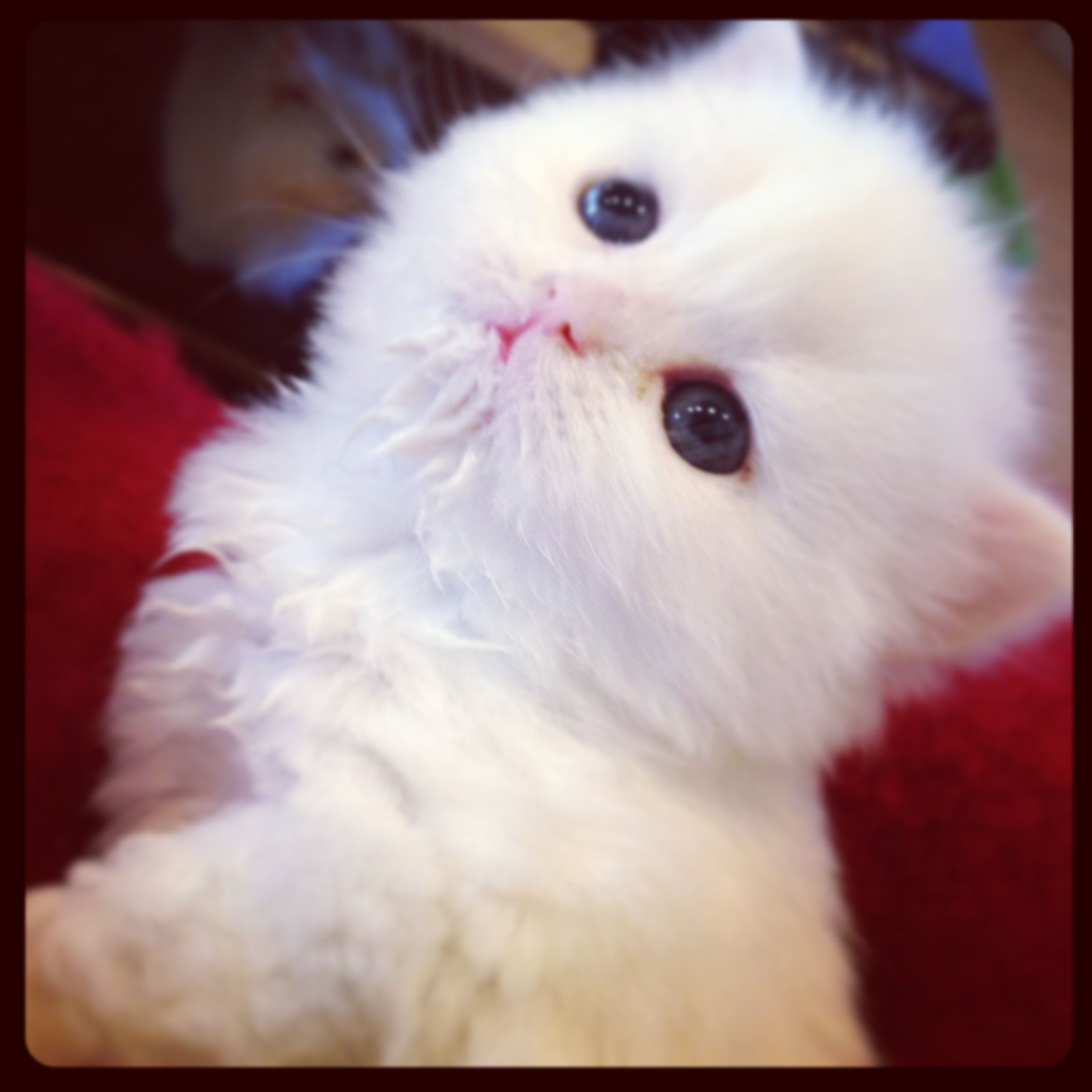 Traditional White Doll Face Persian Kitten. Teacup