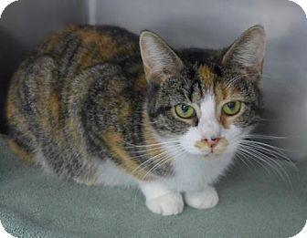 Westampton Nj Domestic Shorthair Meet C 67165 Maggie A Kitten For Adoption Kitten Adoption Cat Adoption Saving Cat