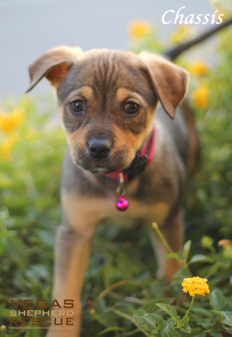 Adopt chassis on puppies shepherd dog mix german