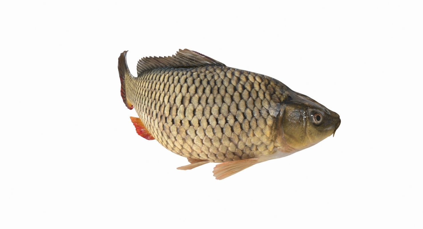 Carp Fish 3d Model Animated Animation Fish Pet Sea Creatures