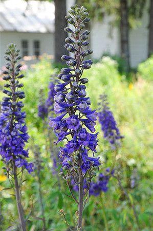 Tall Blue Larkspur Delphinium Exaltatum Prairie Nursery