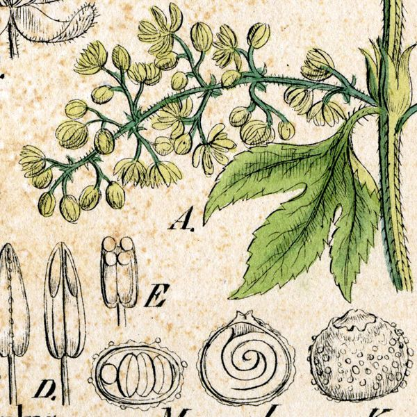 Kitchen Herbarium Art: Economic Botany Gray Herbarium Arnold Arboretum Farlow