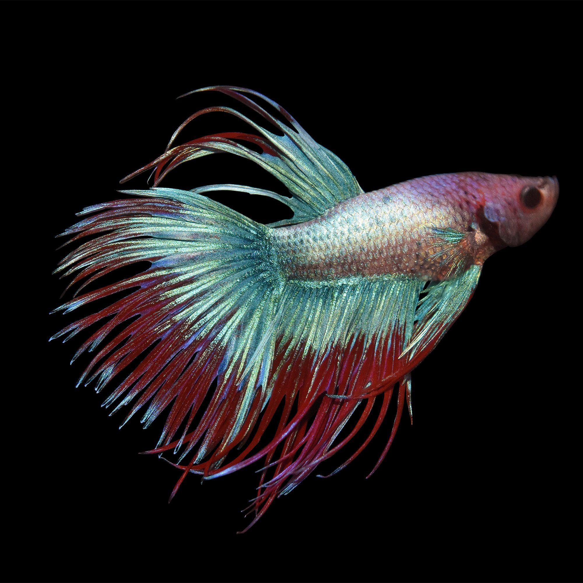 Male Crowntail Betta Betta Splendens Betta Betta Fish Care Betta Fish Tattoo