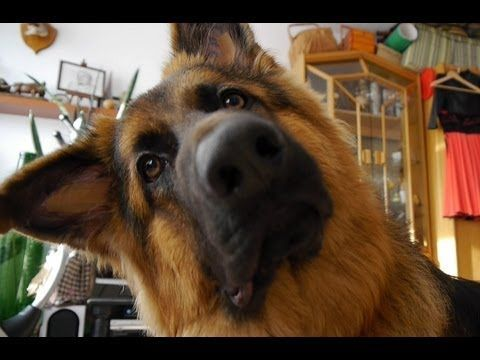 German Shepard Reacts To Ring Tones Funnypuppyringtones Dogs
