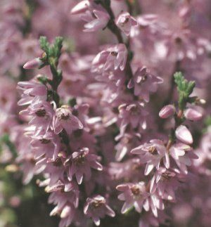 Heather Heather Flower Heather Plant Flower Close Up
