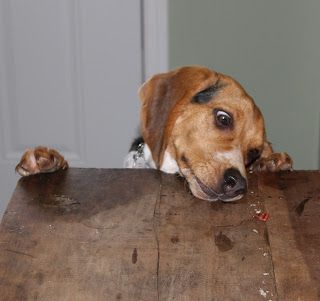 Woodbine Wonderings Beagle Dogs Animals