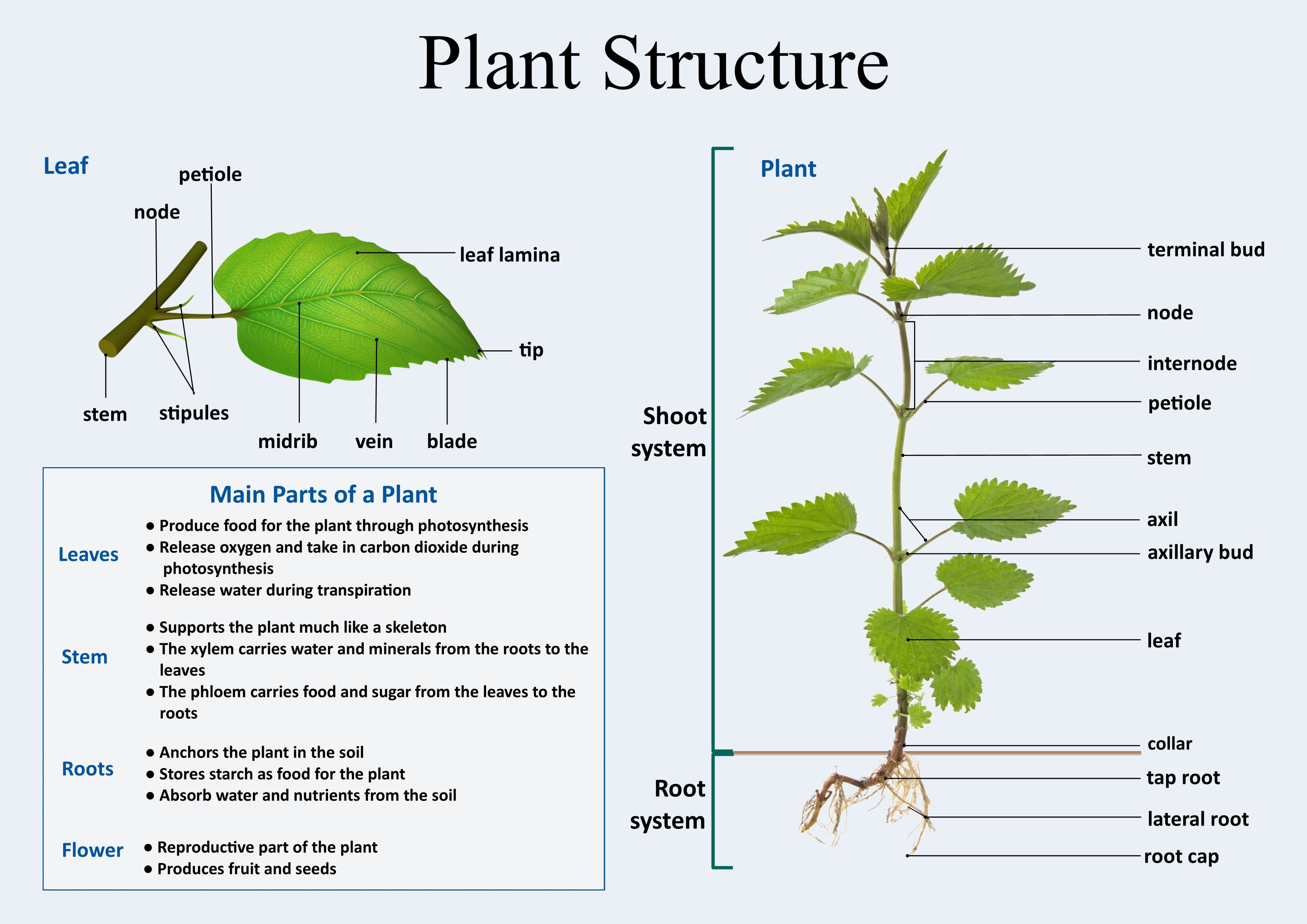 Plant Structure With Images