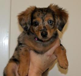 Effie Is An Adoptable Dachshund Dog In Clarksville Tn Effie Is A