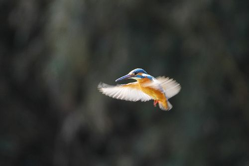 shining wings - kingfisher カワセミ