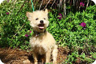 Matthews, NC - Yorkie, Yorkshire Terrier Mix. Meet Dante a ...