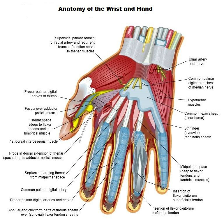 Anatomy of the Wrist and Hand - Hand Therapist in Ronkonkoma, NY ...