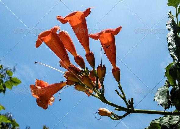 Trumpet creeper flowers