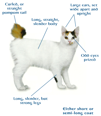 japanese bobtail cat not a true pure bred as one may think they actually color picturesmaneki