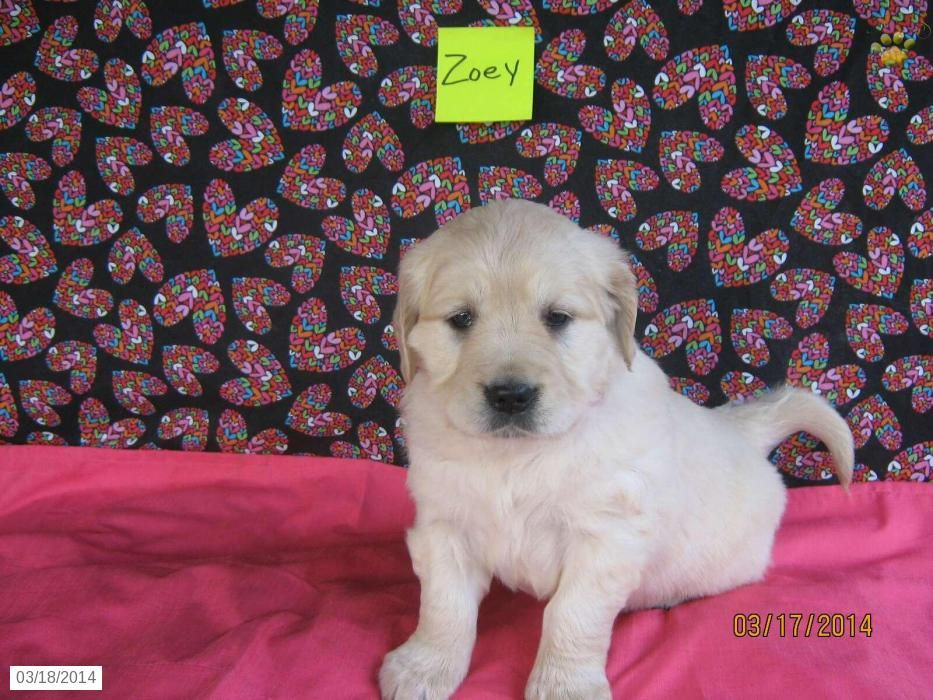 Puppies For Sale Sale In Baltic Oh Golden Retriever English Cream Puppy For Sale Golden Retriever English Cream Puppies For Sale Golden Retriever