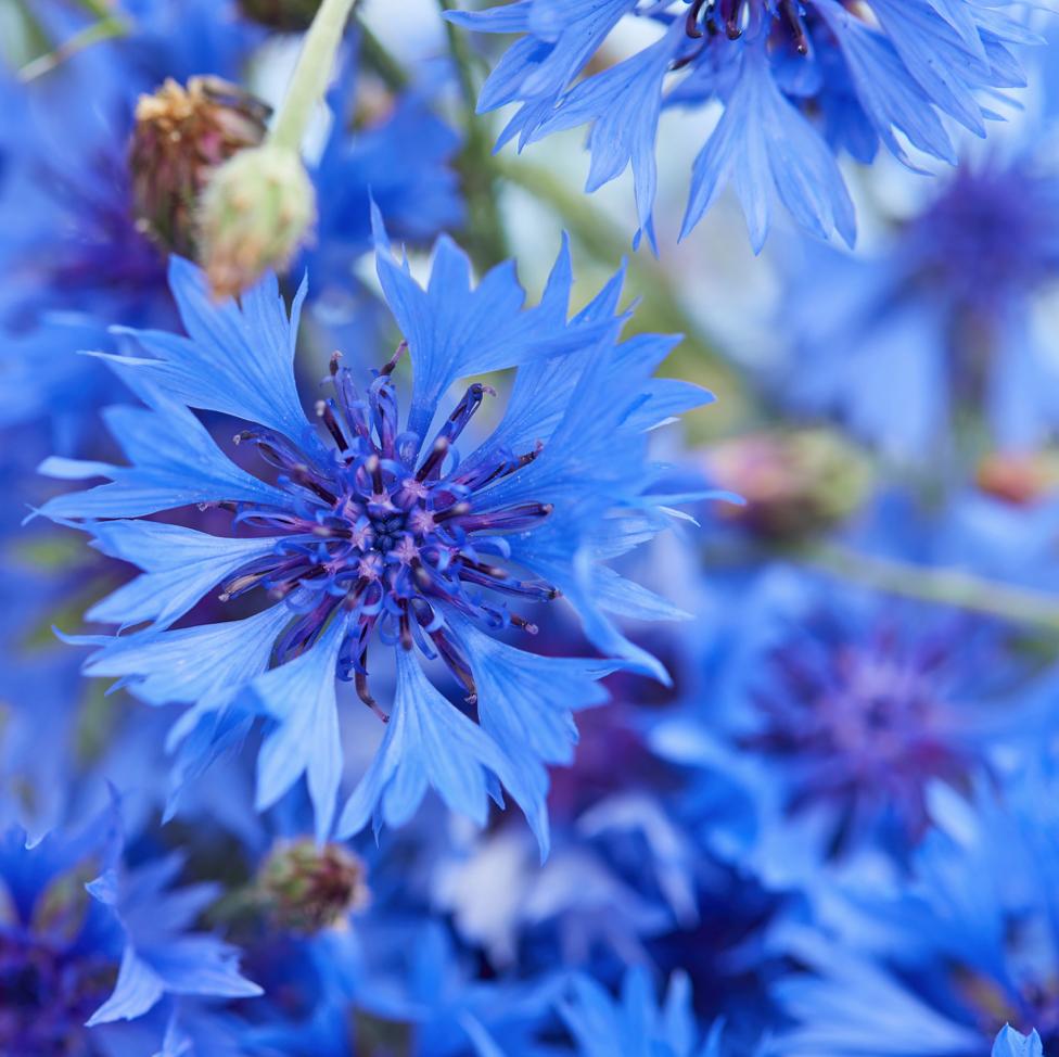 Cornflower Seeds Bachelor S Button Wild Flower Seed In 2020 Flower Seeds Wild Flowers Wildflower Seeds