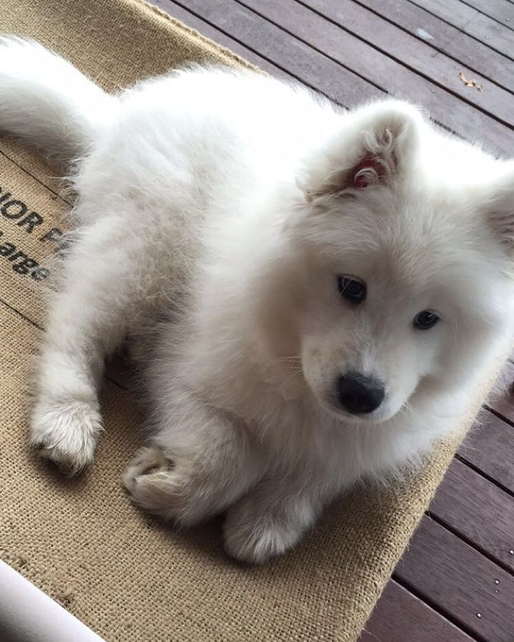 Baby Kobe Niedliche Hunde Samojede Hunde