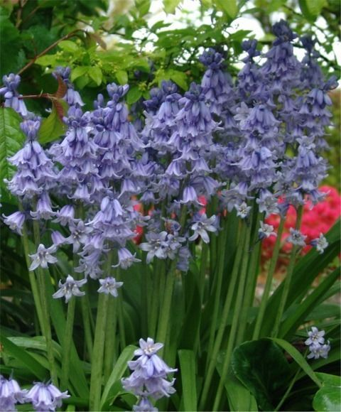 Marvelous BLUEBELL LILY BULBS PERENNIAL SHADE PLANTS FLOWERS APRIL MAY NO DEER