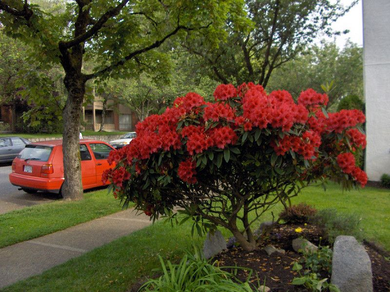 Rhododendron 39 nova zembla 39 grows to 5 39 tall and wide this for Large flowering shrubs