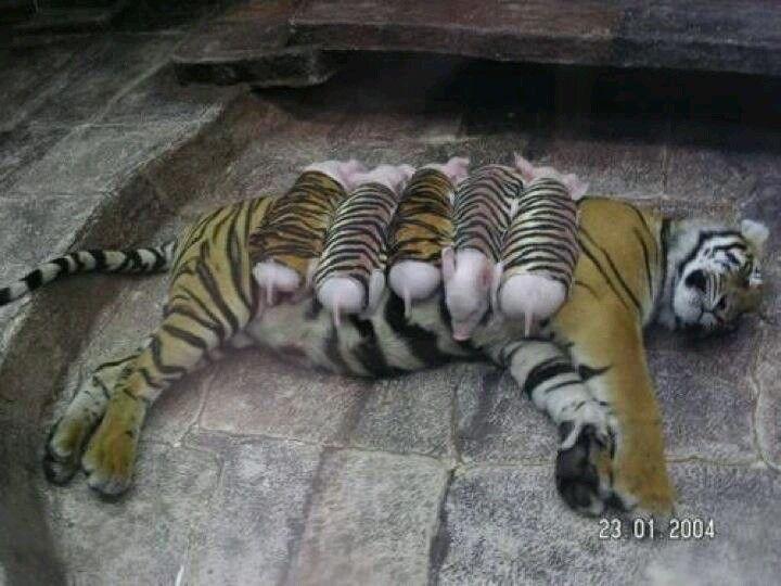 Mama tiger