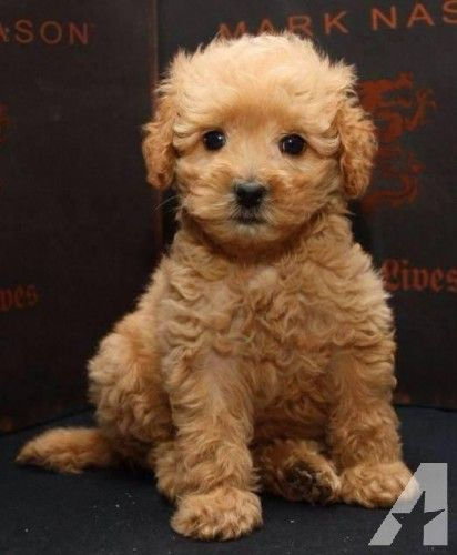 Adorable 9 Wk Cavapoo Puppies Cavalier King Poodle Non Shed