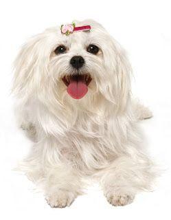 Dog Breed Information Maltese Dog Breeds Maltese Puppy