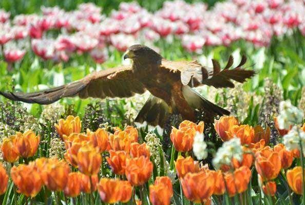 The Keukenhof covers an area of nearly 80 acres, with 4.5 million tulips in 100 varieties.    Photo credit: PR Keukenhof