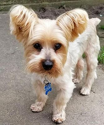 Pictures of Hamish a Yorkie, Yorkshire Terrier for