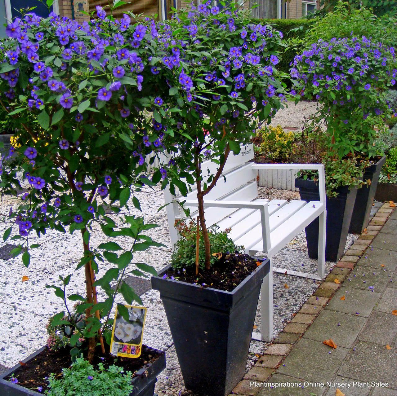Plant Inspirations Nursery S Online Delivered Australia Wideblue Potato Bush Solanum Rantonetti X 8 Hardy Garden Plants Lycianthes Rantonnei