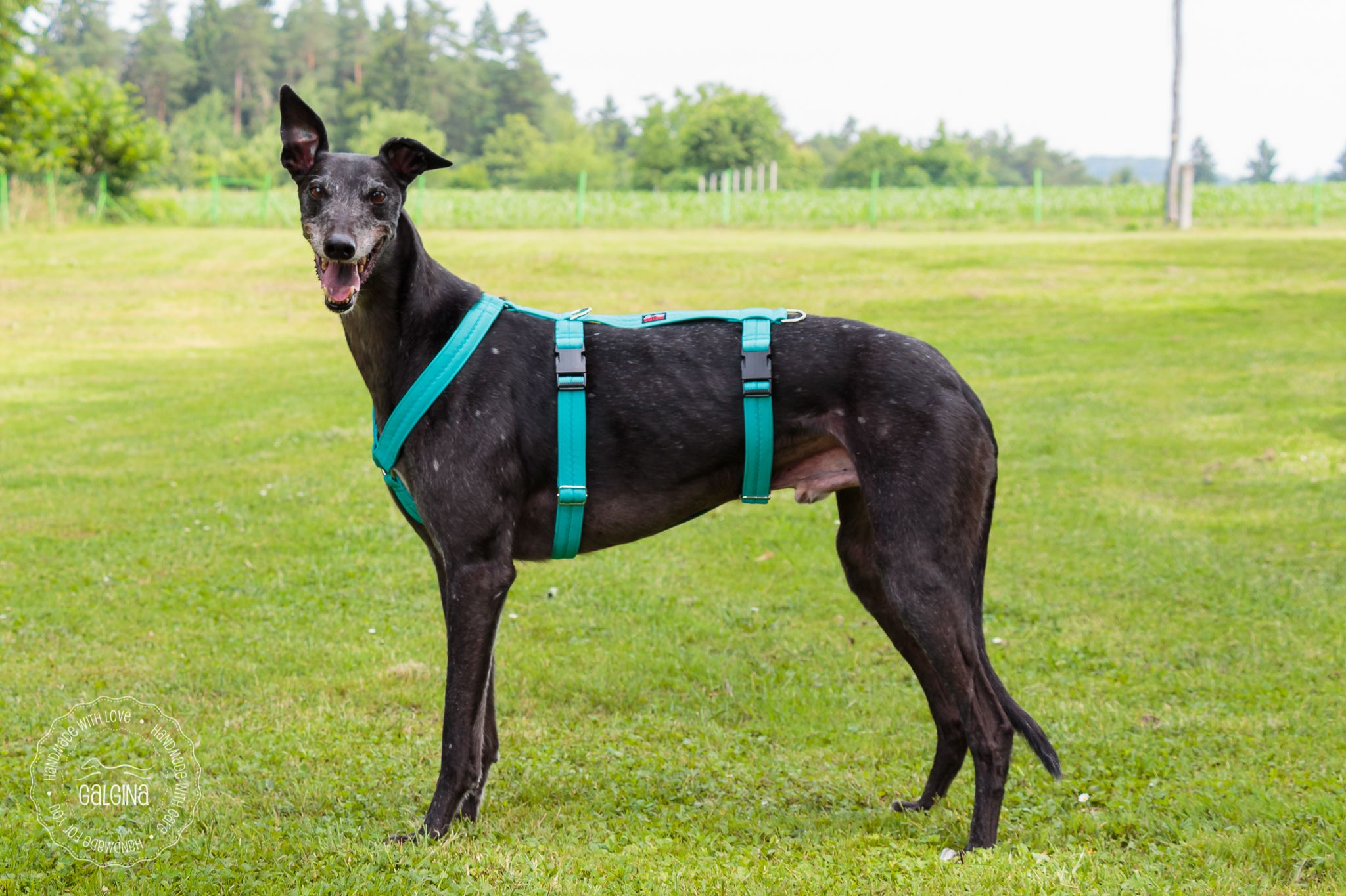 d2a6d463c6f0d8761e0c8b7d551f6c1e sighthound harness, made of softshell for greyhound, galgo, lurcher
