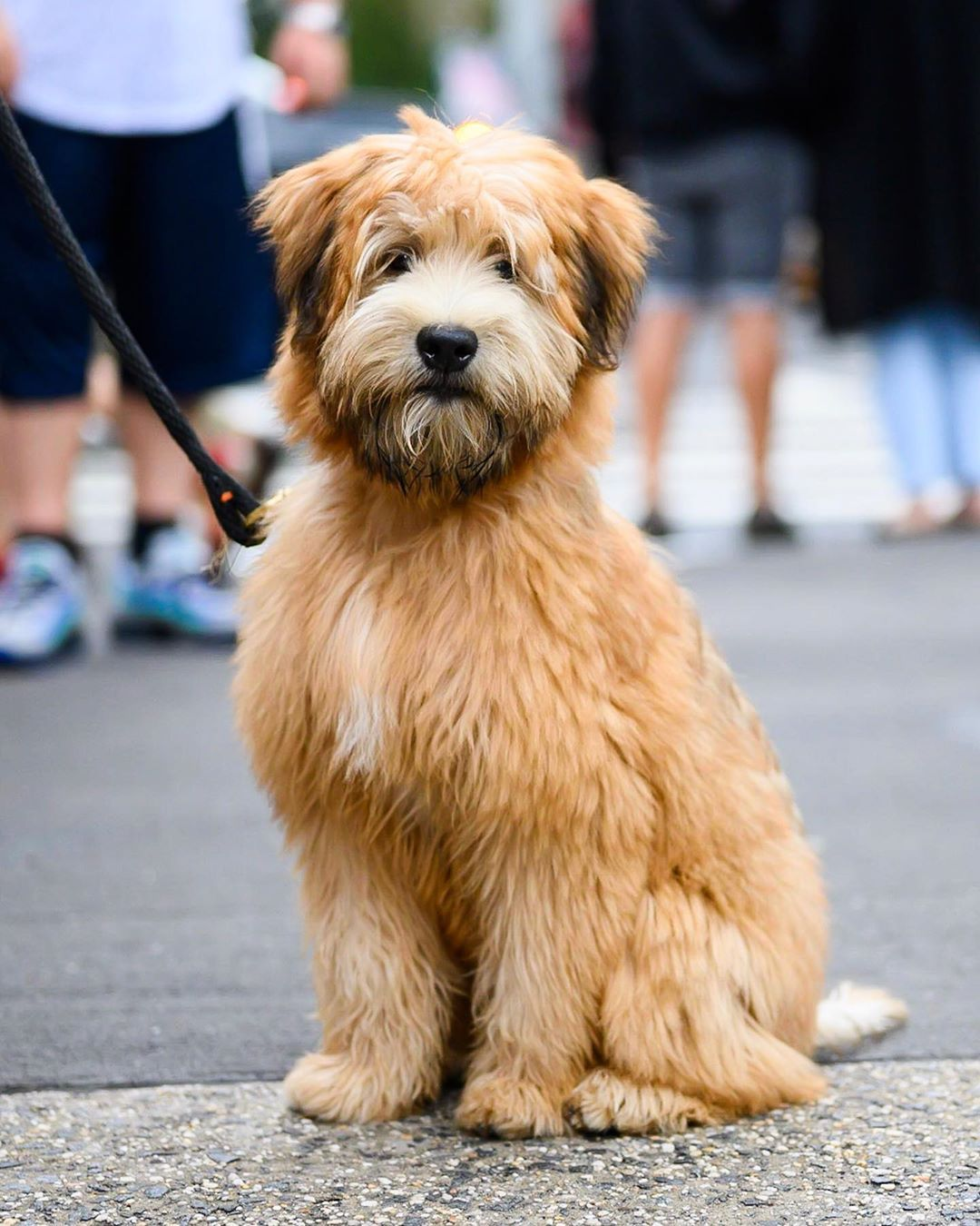 Mugsy Wheaten Terrier 5 M O Prince Mulberry St New York