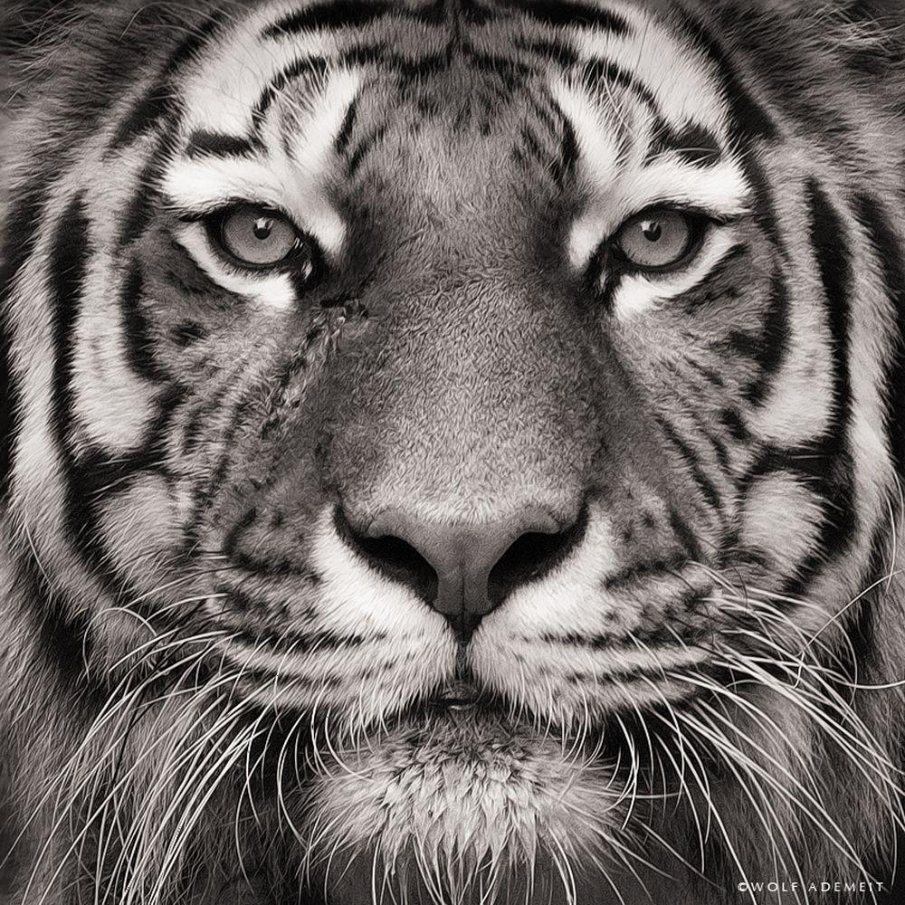 Tiger face portraits Tiger-face-portraits Tiger-face ...