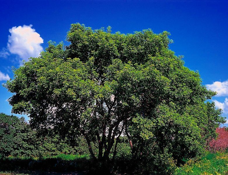 Image Result For Manitoba Tree Drought Tolerant Trees Organic Raised Garden Beds Deciduous Trees