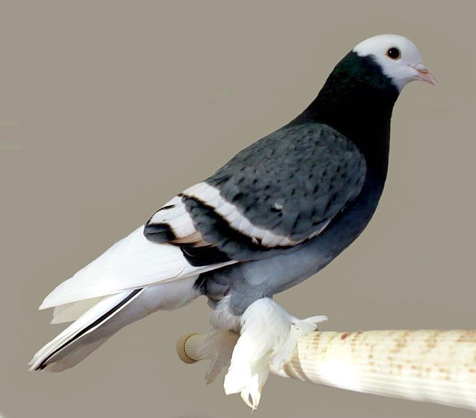 One of the most elegant-looking breed of fancy pigeon is the Saxon Monk. The Saxon Monk comes in five colors  including Blue, black, red, yellow and silver with white bars or spangles. The Saxon Monk originated in Saxony.