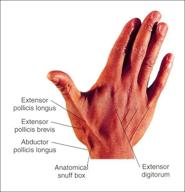 Anatomical Snuff Box Tendons | Human Spine & Extremities Anatomy ...