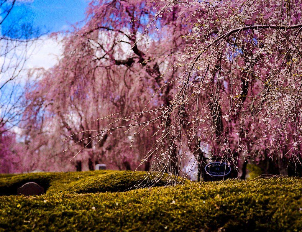 Cherry Blossoms Kodak Ektar Cherry Blossom Kodak