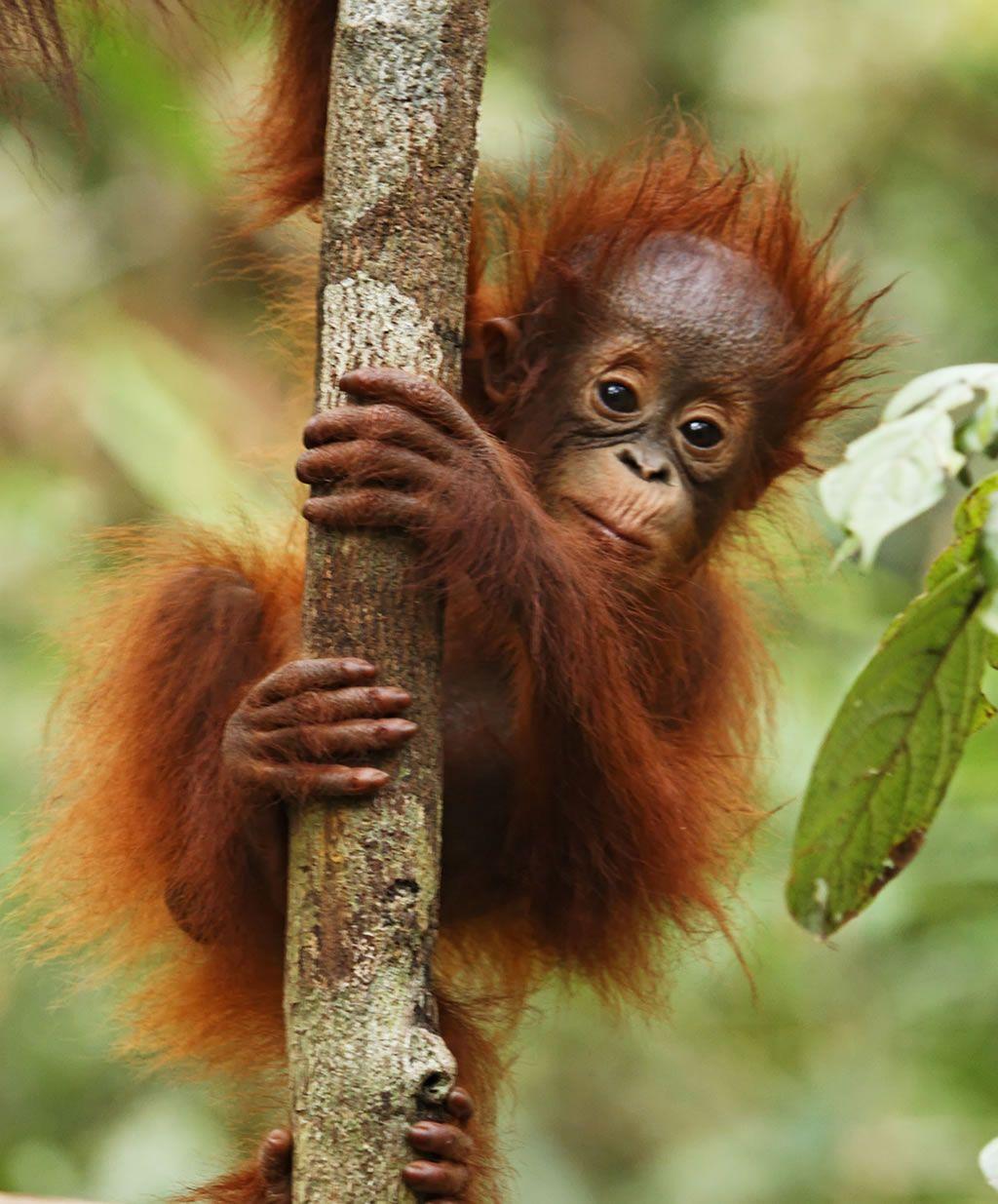 The Borneo Project Rainforest Animals Orangutan Baby Orangutan