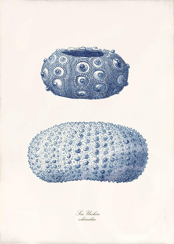 blue sea urchin art print 5 x 7 natural history sea