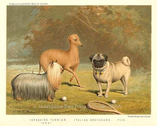Yorkshire Terrier Dog Italian Greyhound Pug From The