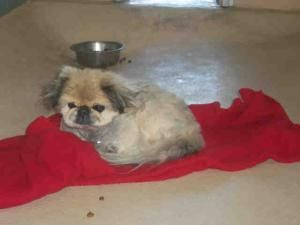 A0390459 Is An Adoptable Pekingese Dog In Tampa Fl