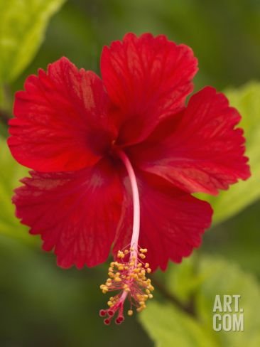 Red Hibiscus, Hibiscus Rosa-Sinensis, Belize Stretched Canvas Print by William Sutton at Art.com