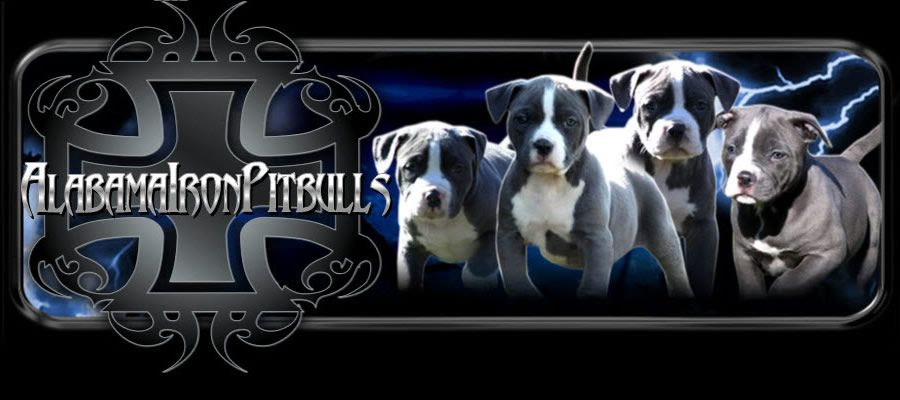 Pitbull Puppies For Sale Alabama Iron Pitbulls Is A Top Breeder
