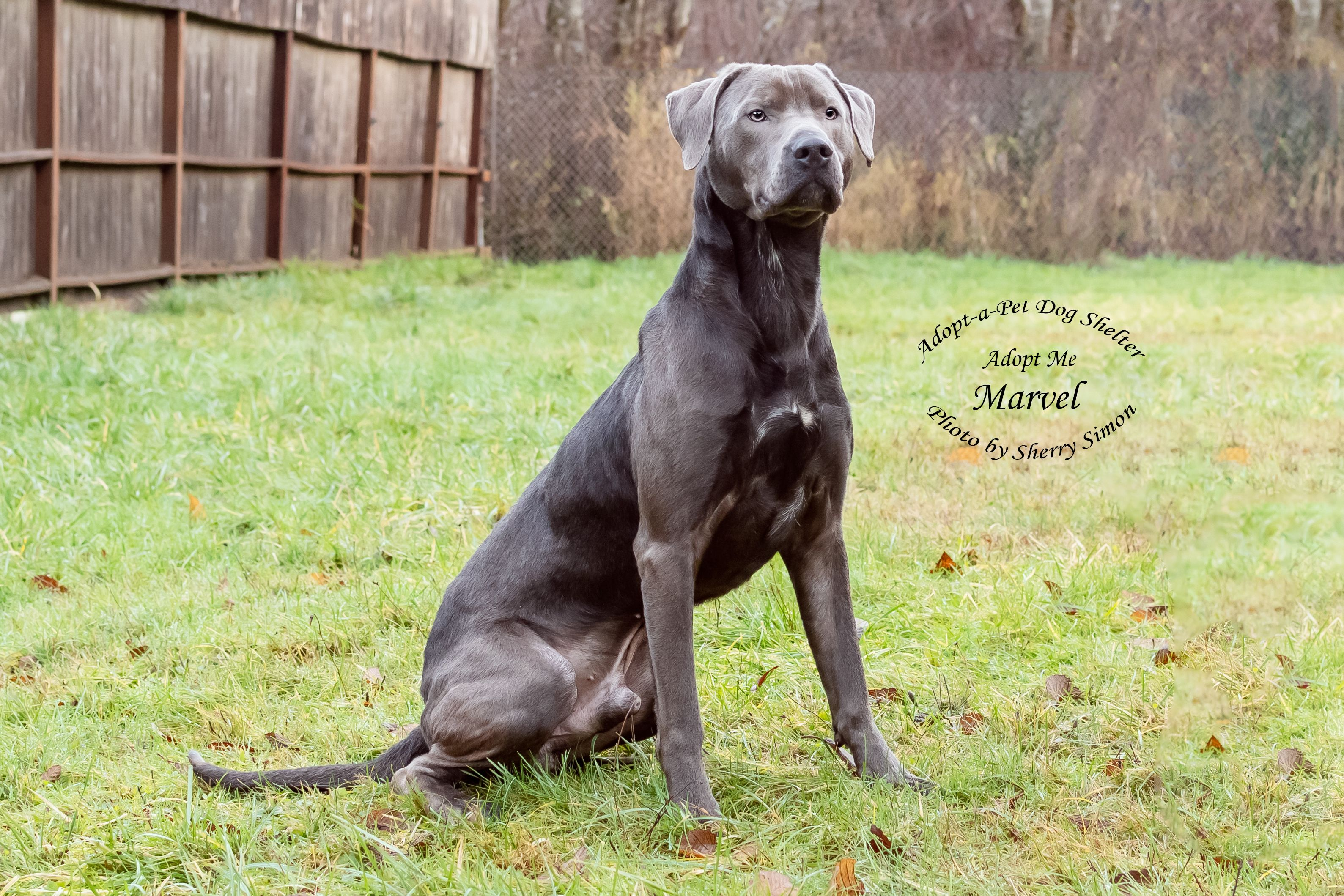 Adopt Marvel On Odin S Pet Pets Labrador Retriever Dogs