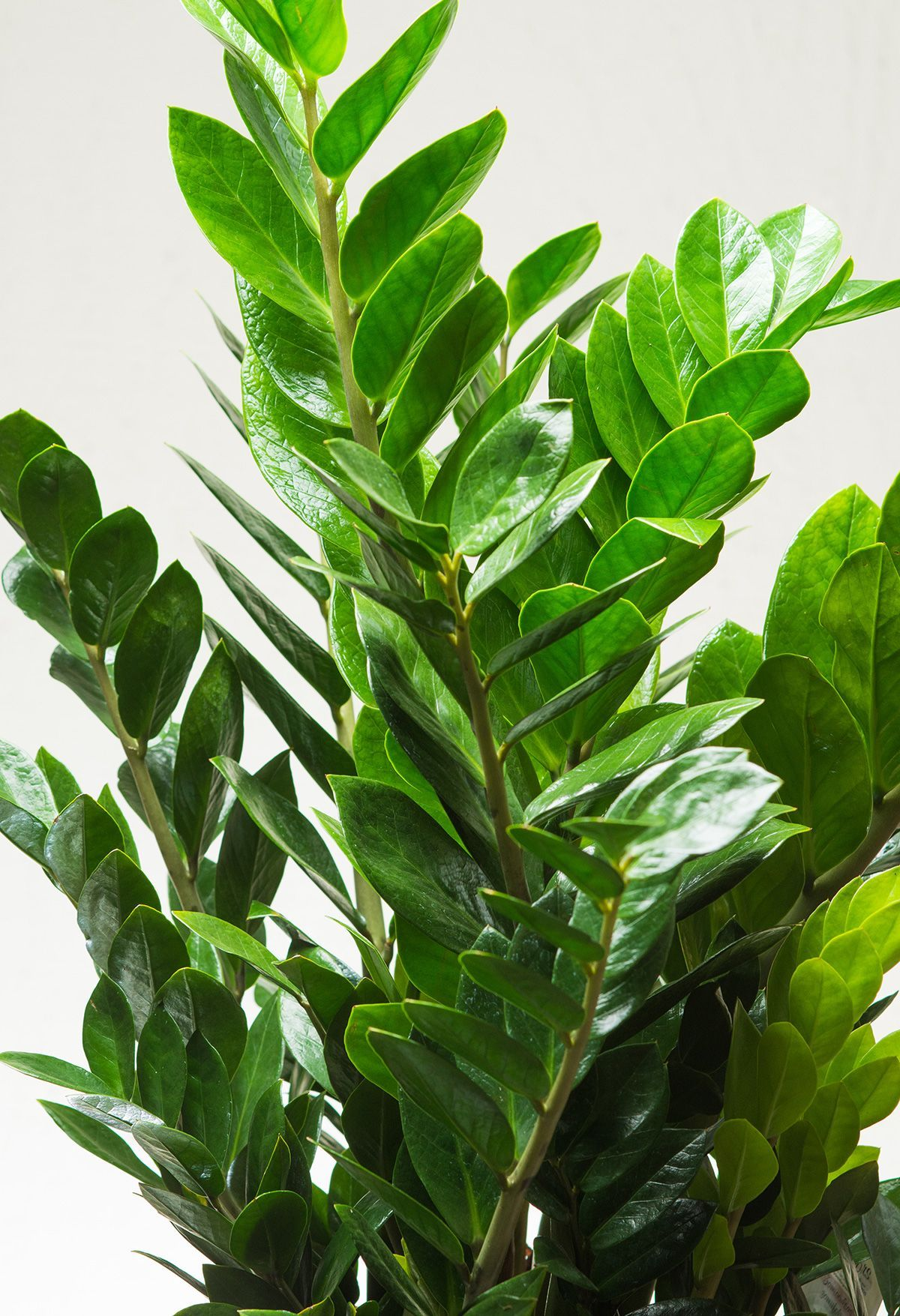 Zz Plant (Zamioculcas Zamiifolia) Practically Thrives On Neglect And Tolerates