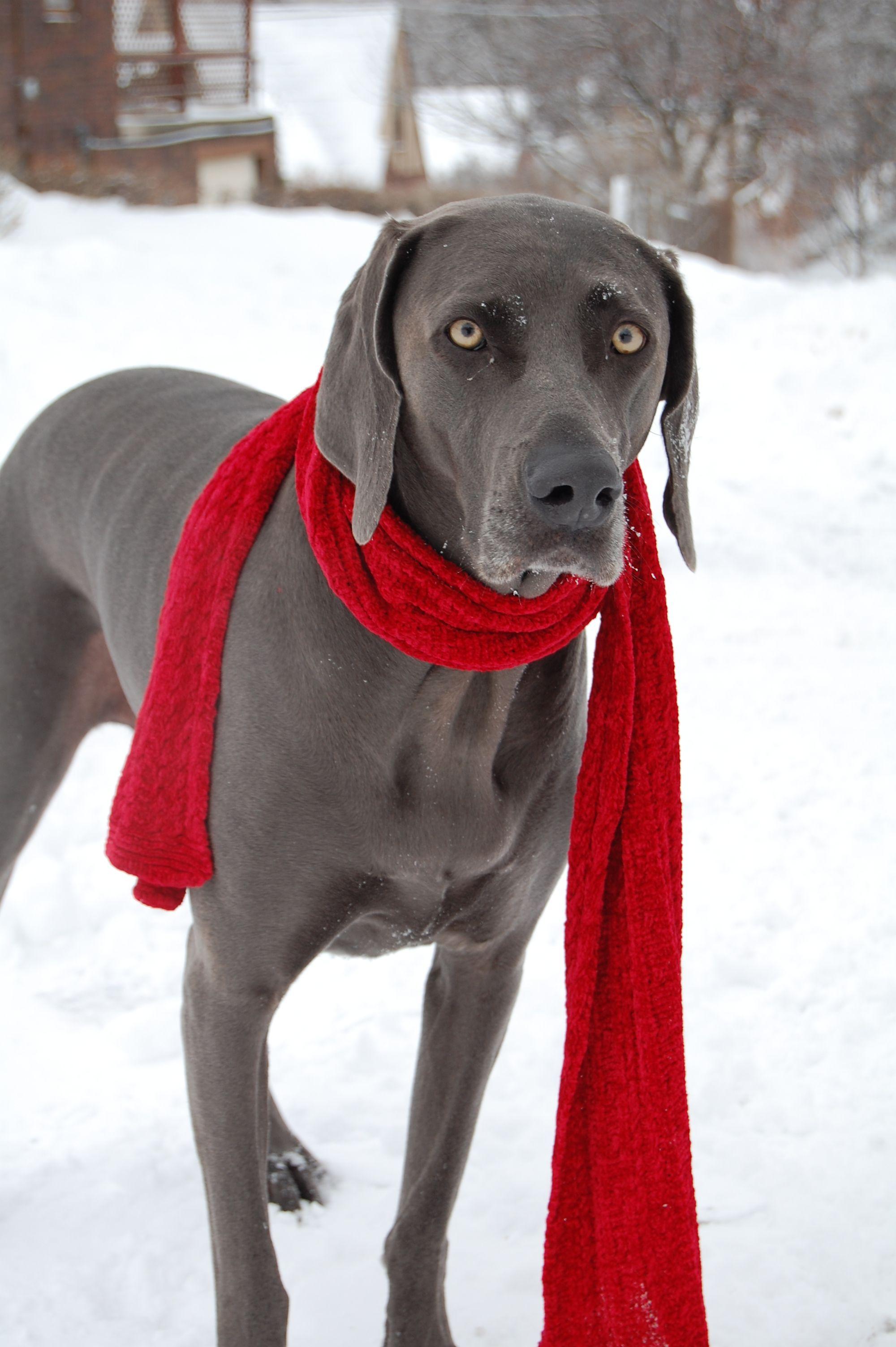 Winter weimaraner puppy dog holidaydogs holiday dogs winter weimaraner puppy dog holidaydogs nvjuhfo Image collections