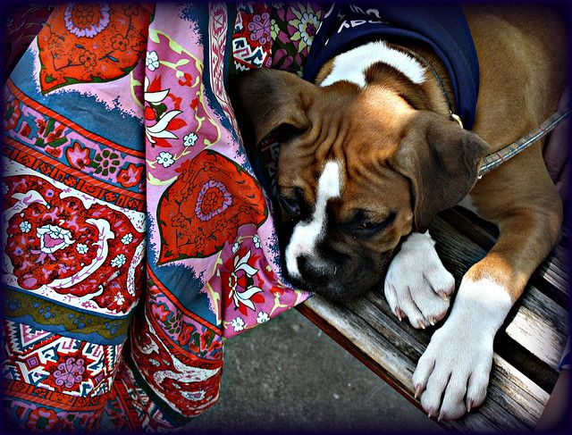 Boxer Pup Photographed By Weaselmcfee Boxer Puppies Boxer Dogs Boxer Love