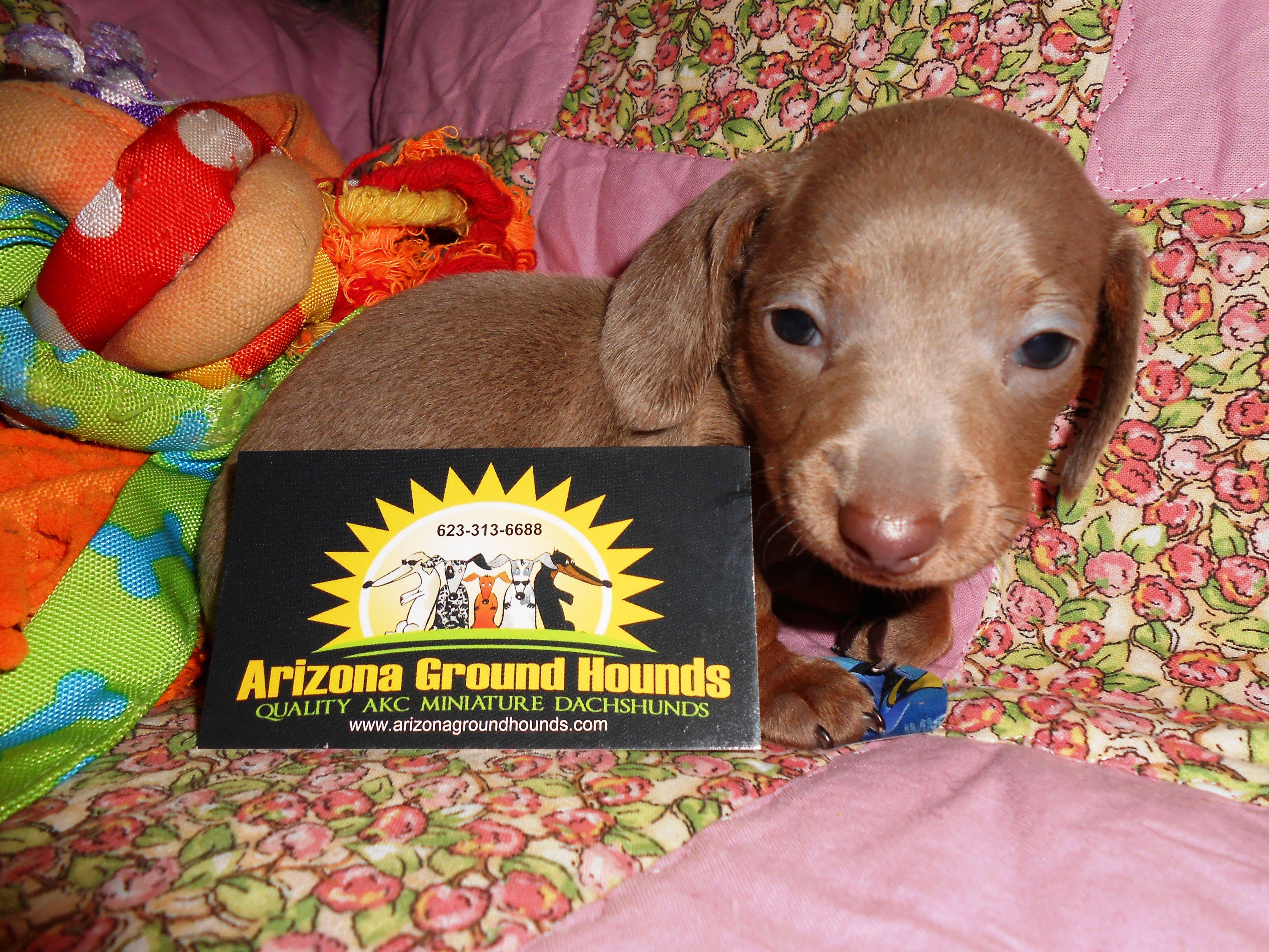 Luna Lambert Litter Miniature Dachshunds Dog Breeder Dachshund