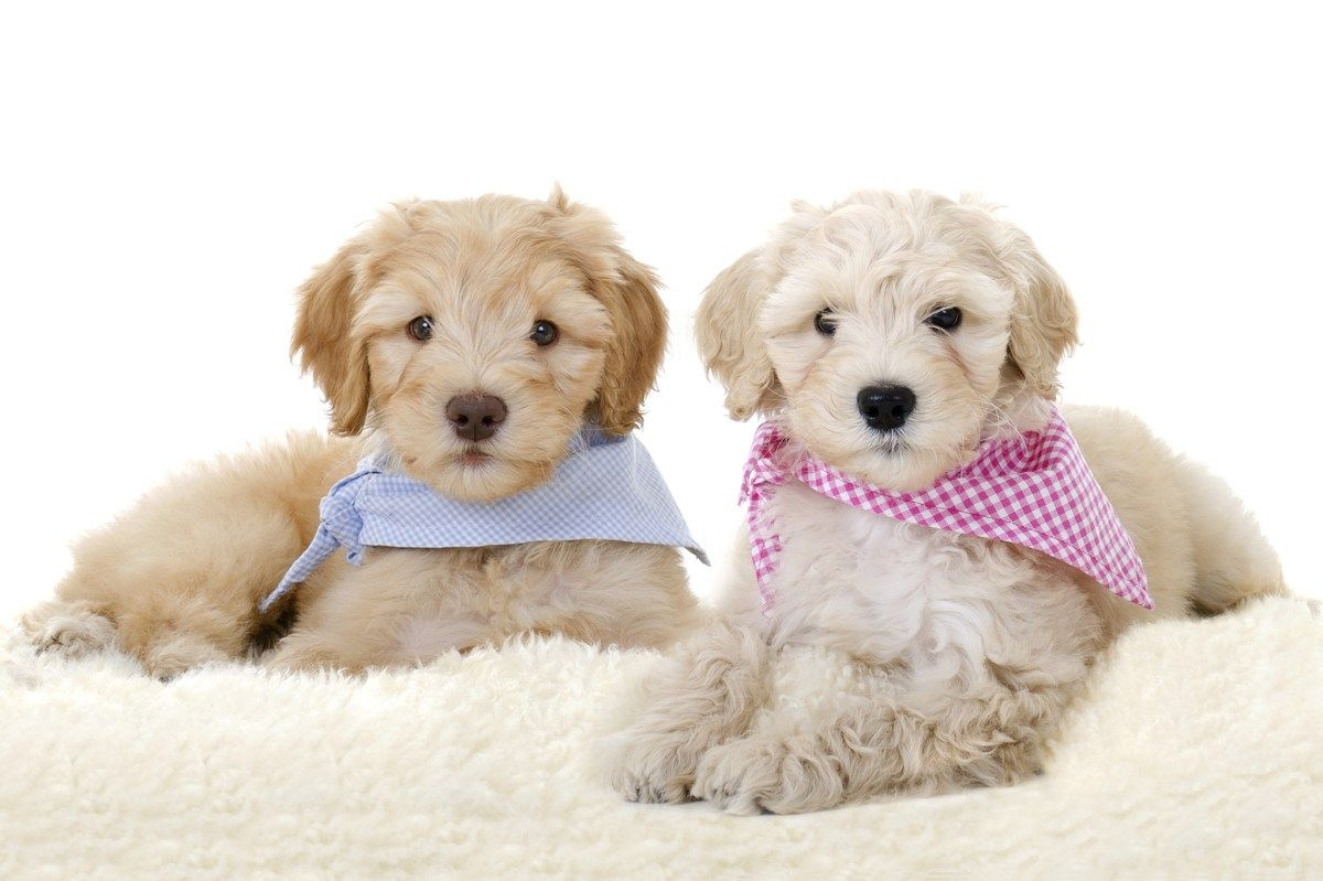 7 Things Your Doodle Wants You To Know Mini goldendoodle