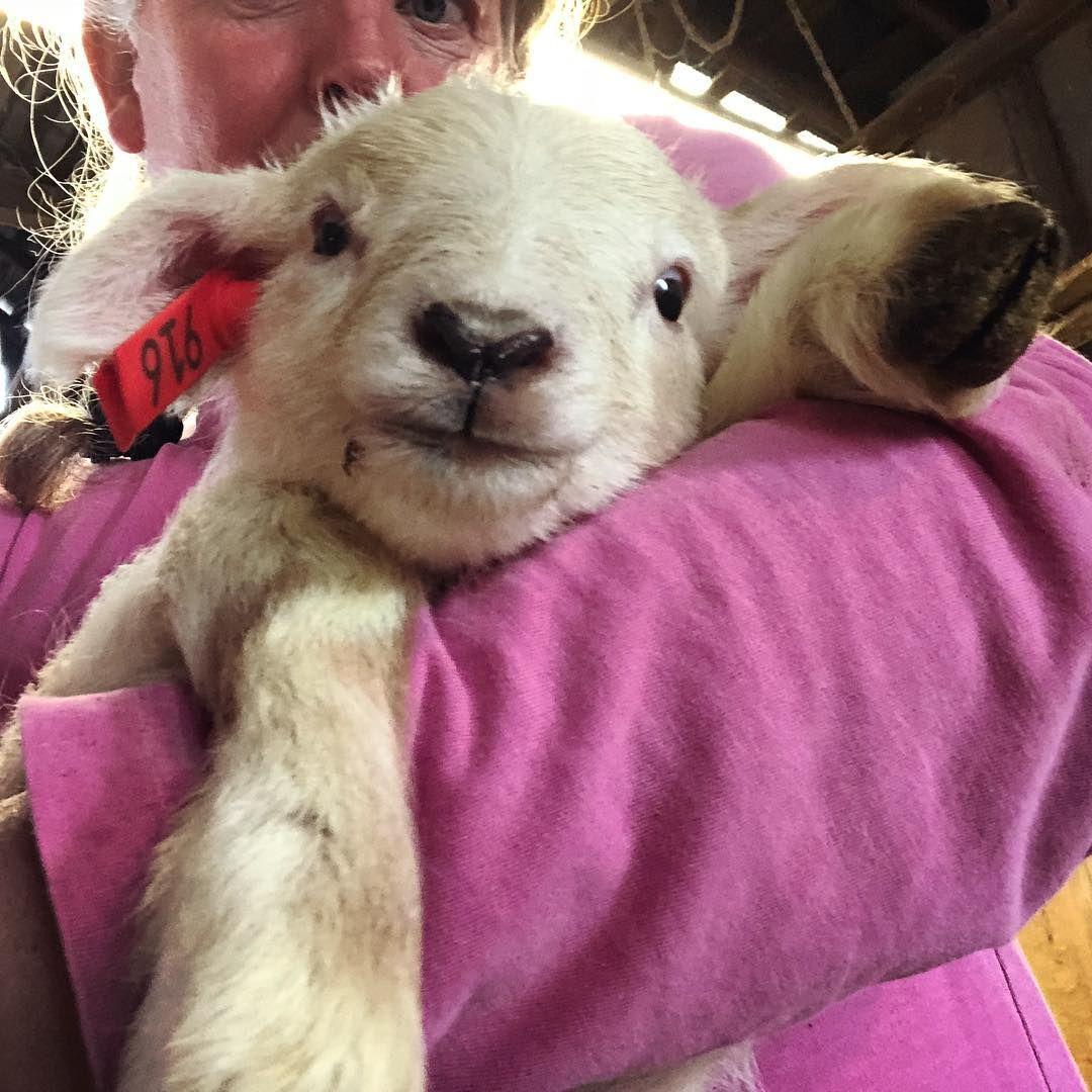 Sara Dunham On Instagram Good Afternoon Lambcamp Lambing2019 Finalfrontierfarm Baby Animals Pictures Baby Animals Animals Friends