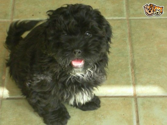 Black Shih Tzu X Toy Poodle Puppies For Sale Poodle Puppies For