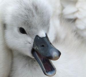 Swan Hatchling or cygnet.